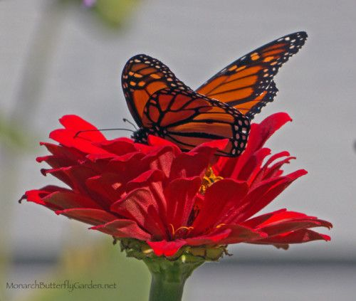223 Best images about Butterfly Garden Plants on Pinterest