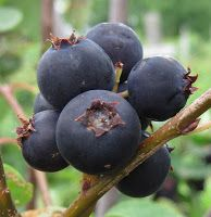 Juneberries: A new berry crop for the Northeast US