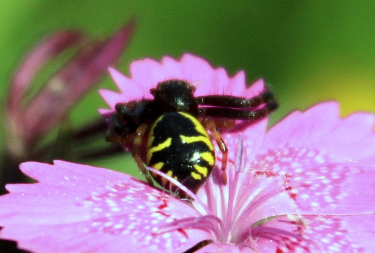 Black and Yellow Spider Sitting on a Flower - Public Domain Photos, Free Images for Commercial Use