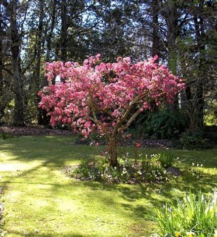 Malus sonningensisEdna Walling® Crabapple3-5m 3-5m Small Tree