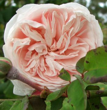 """Souvenir de la Malmaison, on of the great old garden roses of the 19th century. Originally known as the """"queen of beauty and fragrance."""" fragrant, compact was taken from gardens at Malmaison by a Russian duke and brought back to the Imperial Gardens in St.Petersburg."""