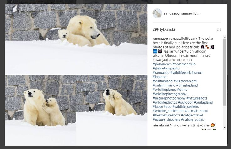 Ranuan+jääkarhunpentu+tuli+ulos+pesästään+ensimmäisen+kerran+–+katso+suloiset+kuvat