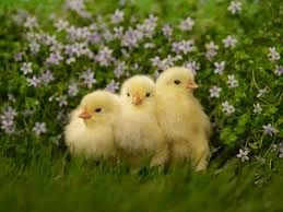 Image result for baby chicken