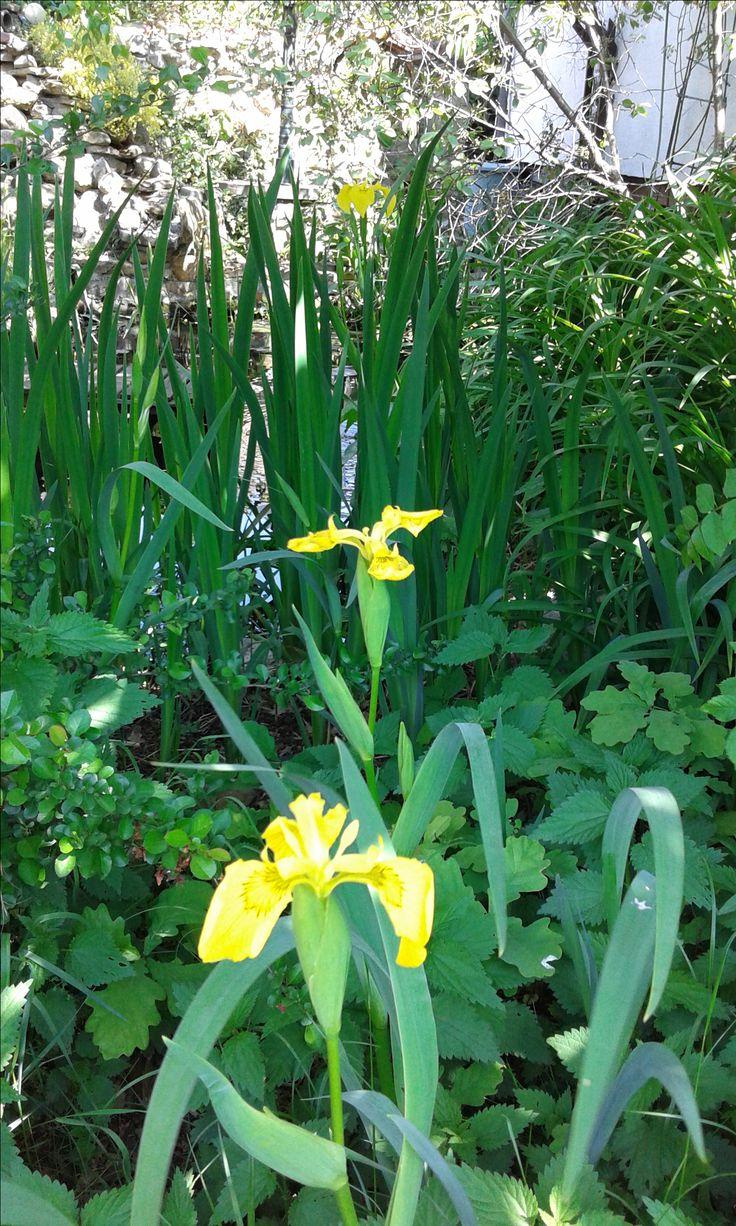 Yellow water irises