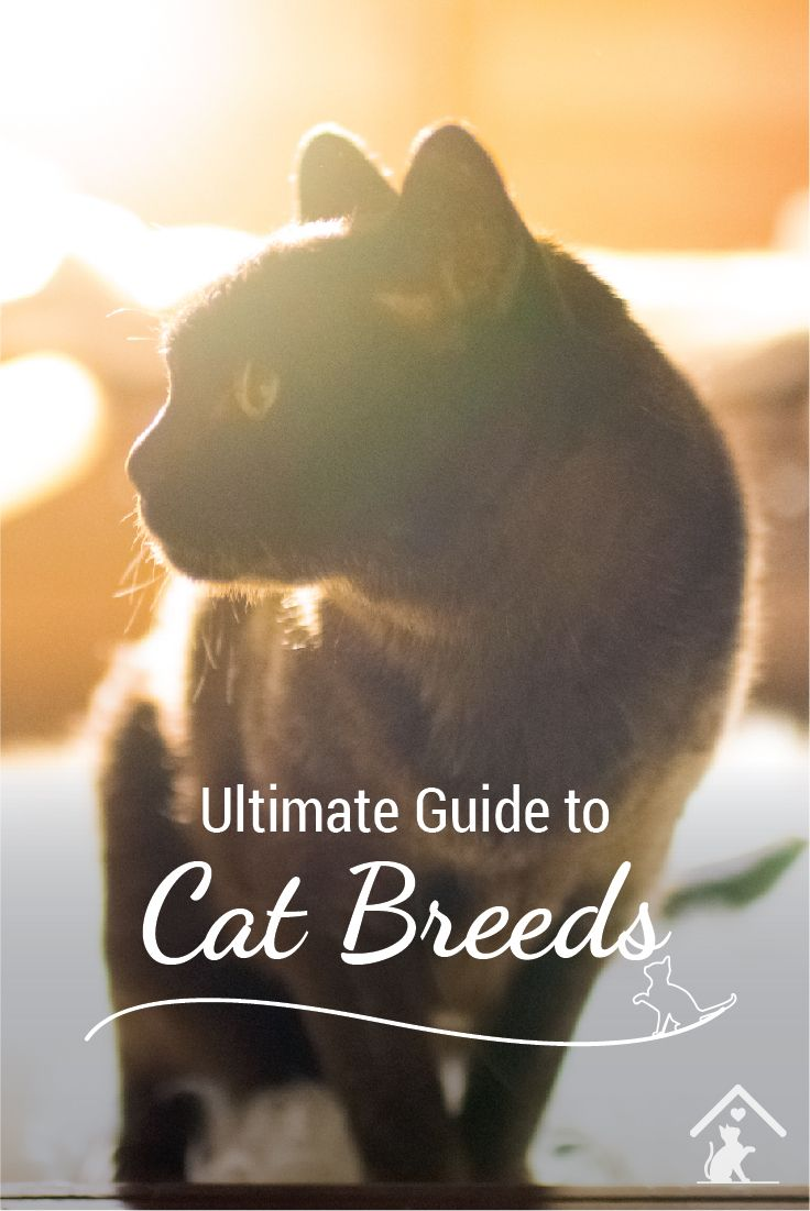 Curious about cat breeds? The Burmese is just one of our top 20 cat breeds. Click the pin to see more! #catbreed #burmesekittens #burmesecats
