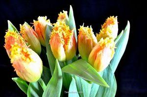 Show details for Tulip Elite