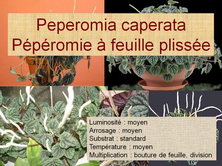 Peperomia caperata Pépéromie à feuille plissée