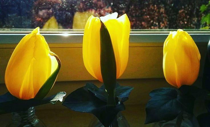 Drie tulpjes voor het raam in tegenlicht. #willemlaros #fotografie #willemlaros.nl #tw #fbp #nederland