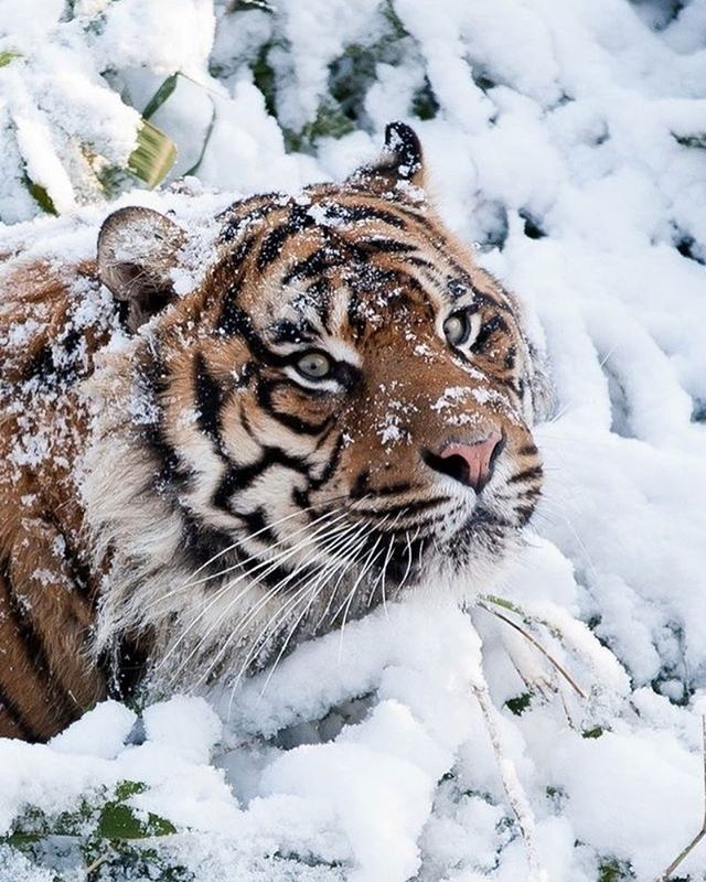 """""""I wonder if i'm blending?"""" LOL! Love this! ❤️ Tiger in Snow Photo by : vadaka 1986 via Flickr #wildlifeowners"""
