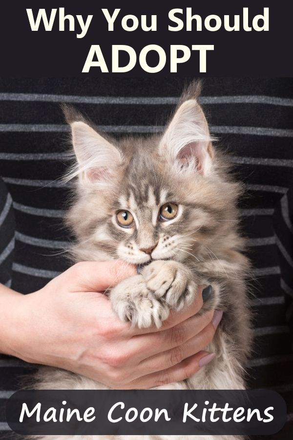 Pin On Maine Coon Cat Care