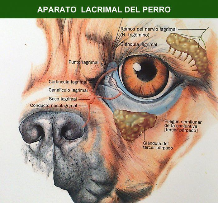 Entropión en perros Es una condición genética en la cual una porción del párpado está invertida o doblada hacia dentro. Esto puede causar que una pestaña pueda irritar o rayar la superficie del ojo, dando lugar a una ulceración o perforación corneal. También puede causar que el tejido cicatrizado de …