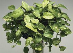Csak heti pár perc gondozás kell és ez az 5 szobanövényed ismét gyönyörű lesz! - www.kiskegyed.hu
