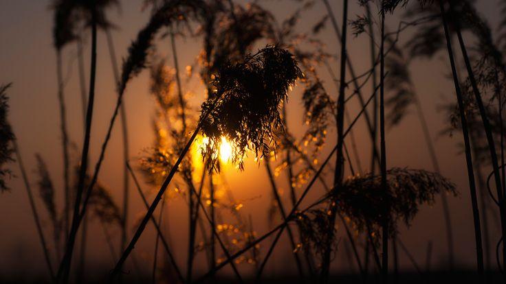 природа, закат, глубина резкости, колосков, золотой час, растений, силуэт, боке