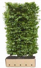 Lebensbaum Smaragd  Es gibt sehr viele verschiedene Thuja-Arten (Lebensbäume). Die Arten, die Heckenpflanzendirekt.de Ihnen anbietet, eignen sich allesamt zum Bilden einer blickdichten Hecke. Lebensbaumarten sind sehr winterhart und einfach in der Pflege. Überdies stellen sie keine hohen Anforderungen an die Umstände, unter denen sie wachsen. Lebensbaumarten wachsen etwa 20-30 cm pro Jahr.  Aufgrund der obigen Eigenschaften sind Lebensbaumarten für viele Kunden eine ideale Heckenpflanze.