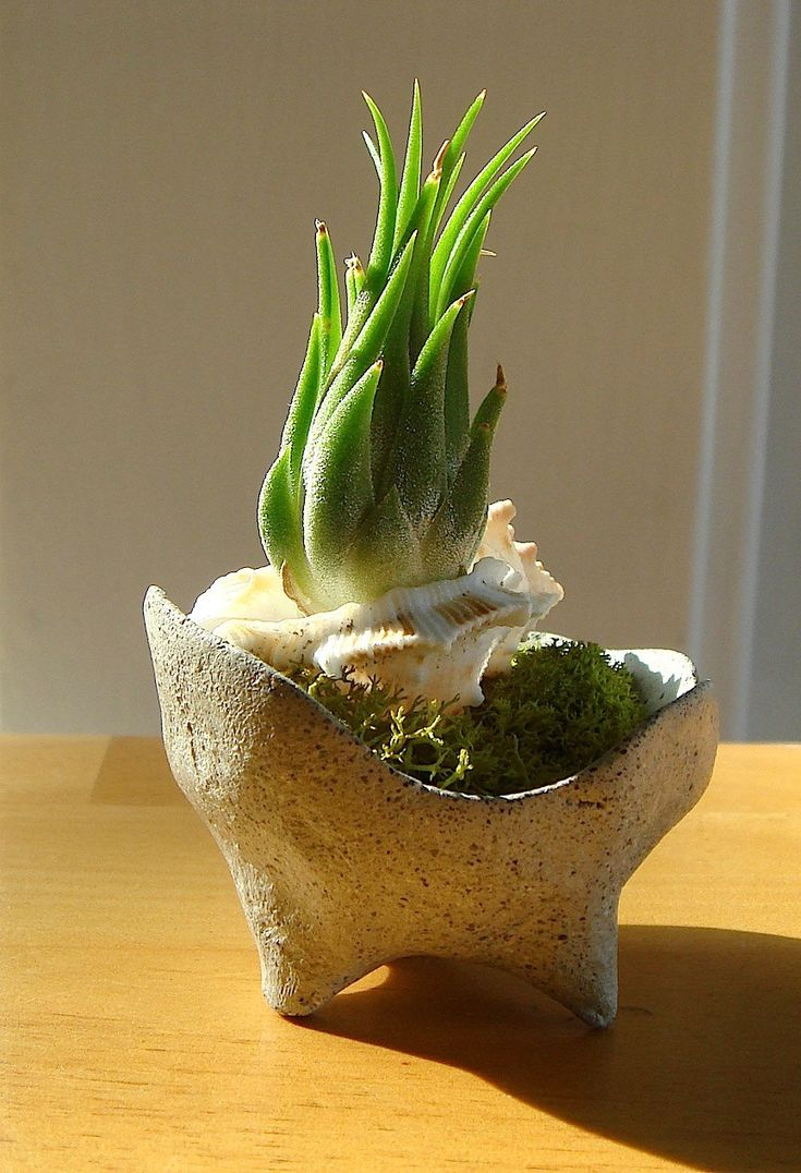 ZEN Mini Abstract Concrete Pot Terrarium with Shell and Air Plant