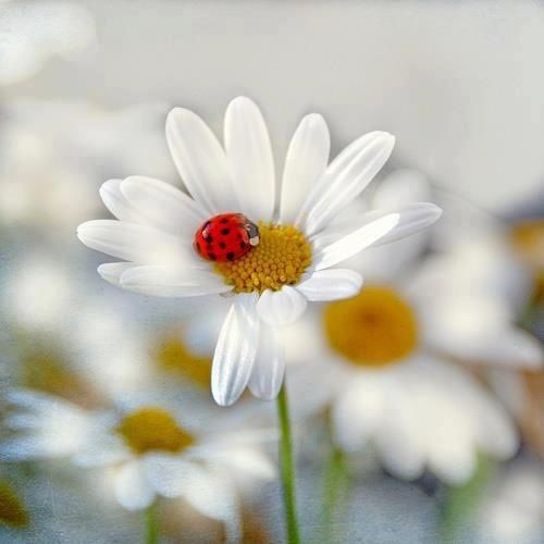 Bug on a daisy lady bug on a daisy Cheesecake