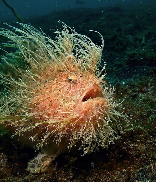 Hairy Frogfish. We have not right to destroy a world we don't
