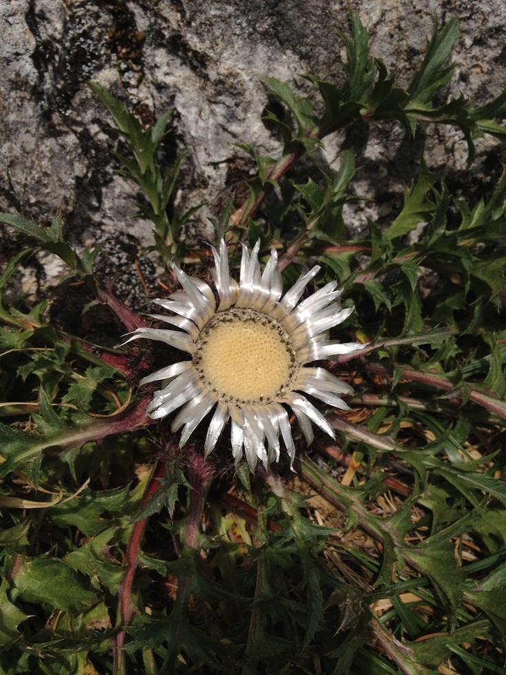 Mountain flower on Piatra Craiului, Romania.