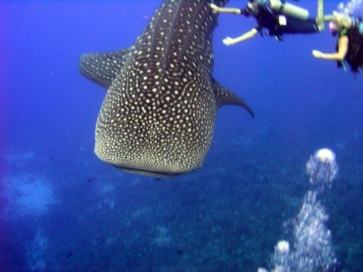 Caribbean Sea Animal Life: 55 Best Images About Caribbean & Bermuda Marine Life On