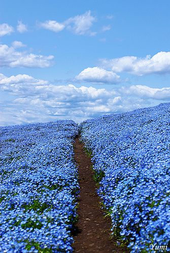Fields of Forget-Me-Nots :)