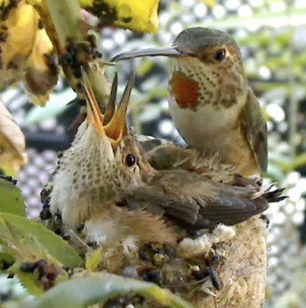 Web cam shot of feeding time in a hummingbird nest :) (Phobe Allen's Hummingbird Cam on FB)