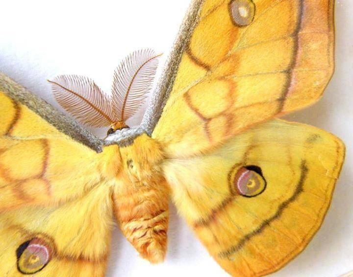 Silkworm moth.
