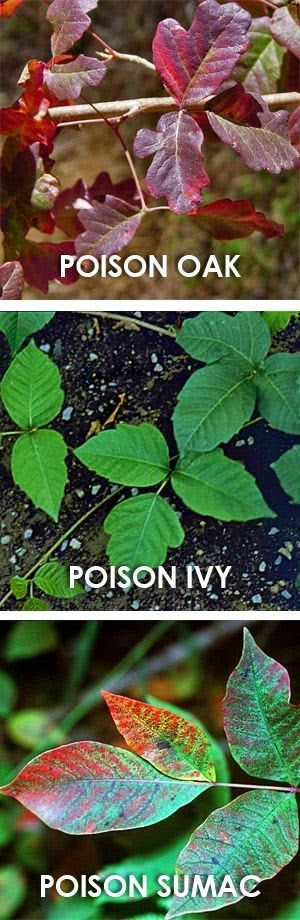 How to treat and avoid poison ivy, poison oak and poison ~ definitely do not want any of these plants in my backyard!