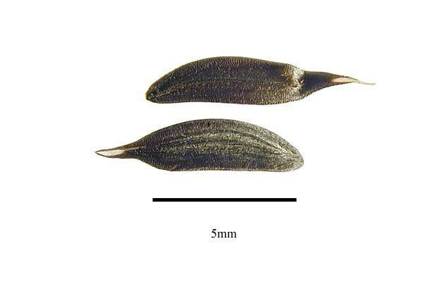 http://www.ars-grin.gov/npgs/images/sbml/Lactuca_perennis_seeds.jpg