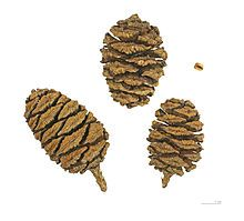 Sequoiadendron giganteum - Wikipedia, the free encyclopedia