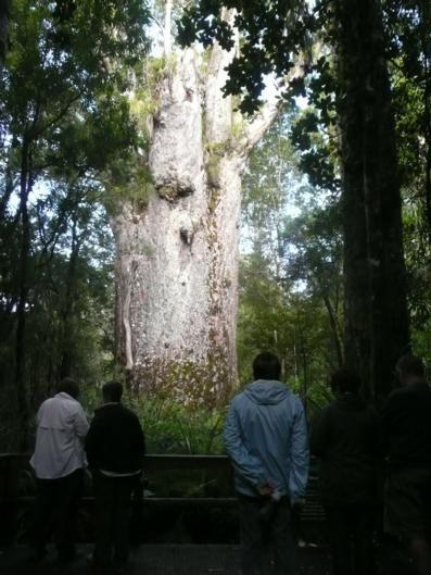 Largest Kauri Trees
