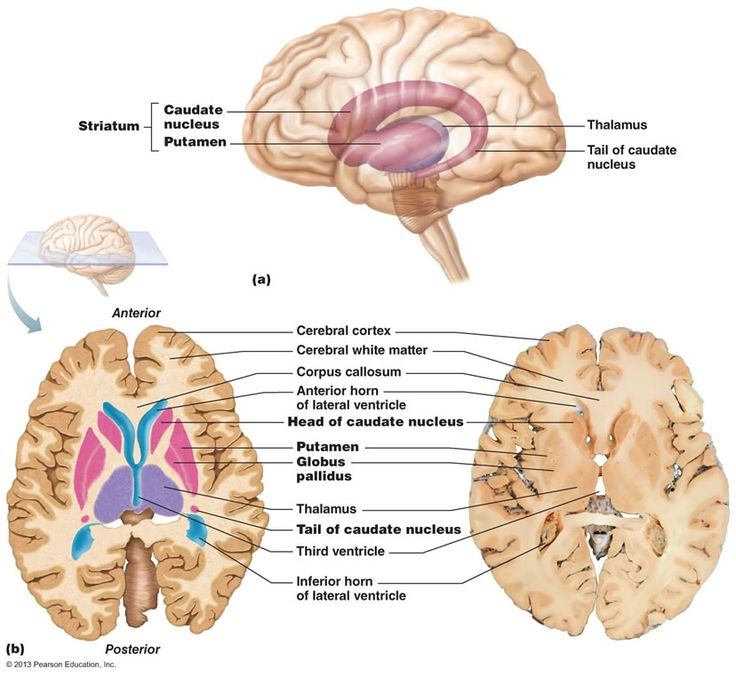 Amygdaloid nucleus – grouped anatomically (sits on tail of caudate nucleus) with the basal ganglia but functionally part of the limbic system