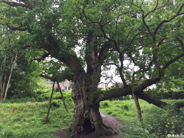 La Birnam Oak, l'ultima quercia superstite della foresta che inspirò Shakespeare per il Macbeth, #scozia