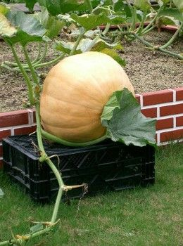 An Atlantic Giant Pumpkin grown in Japan. Usually these pumpkins are much larger.