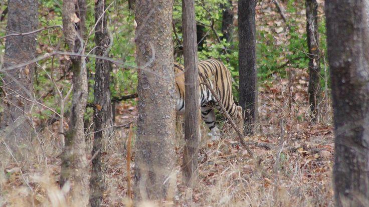Tiger, Pench National Park