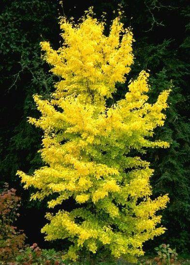 Ginkgo biloba ' Saratoga ' Upright Maidenhair Tree #ModernGarden