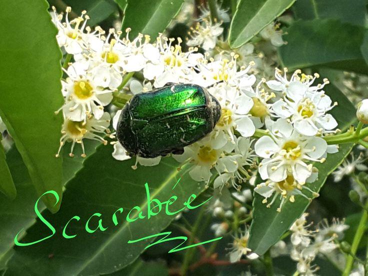 Scarabée sur une fleur de laurier du Portugal aux senteurs envoutantes.