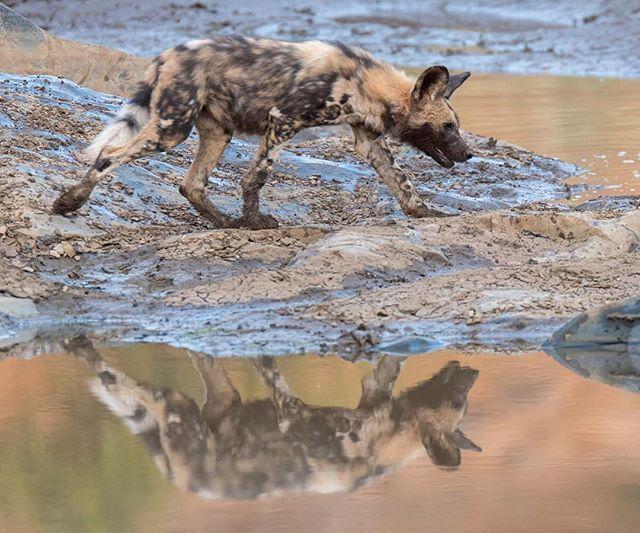 African wilddog pup crossing the Mkuze river in #Zimanga Private Game Reserve. #wilddog #painteddog #reflection #sigmaphoto_sa #iamnikonsa #nikon #photosafari #safari #wildlife #wildlifephotography