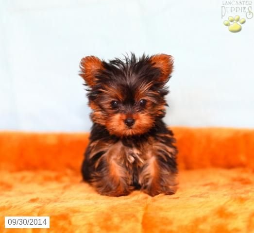 Yorkshire Terrier Puppy for Sale in Pennsylvania