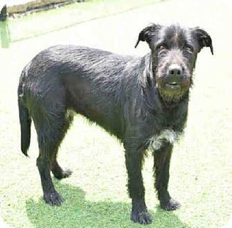 Chester Springs, PA - Standard Schnauzer Mix. Meet Casper, a dog for adoption. http://www.adoptapet.com/pet/17901978-chester-springs-pennsylvania-standard-schnauzer-mix