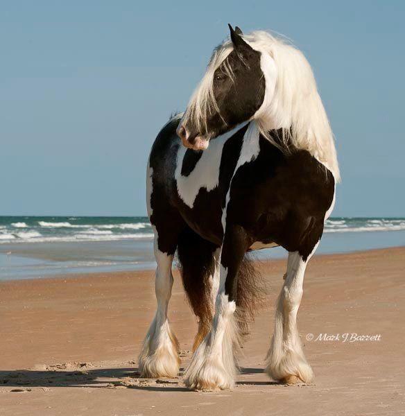 Gypsy Vanner Horse - On the beach.