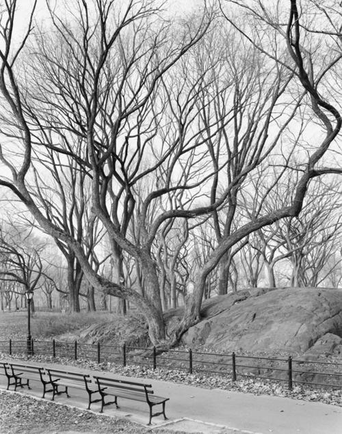 Mitch Epstein,American Elm, Central Park, New York, 2012, 2012.