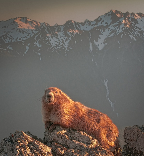 70 Best Marmots/Groundhogs Images On Pinterest