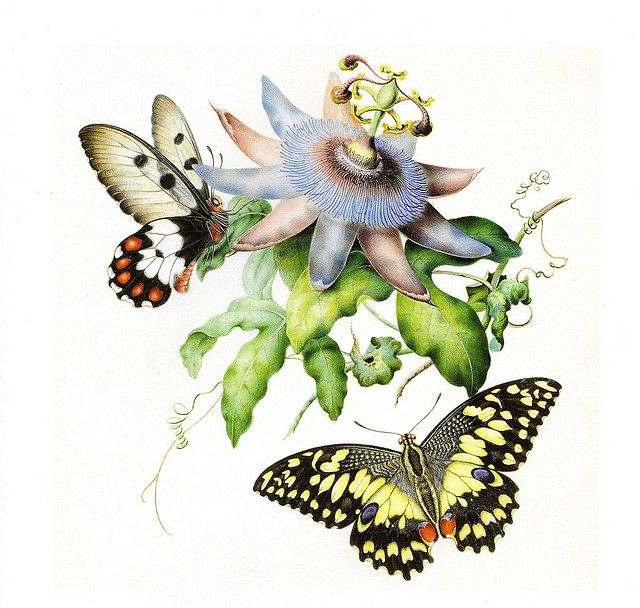 Butterflies with Passionfruit Flower by Helena Scott, 1854 | Flickr - Photo Sharing!