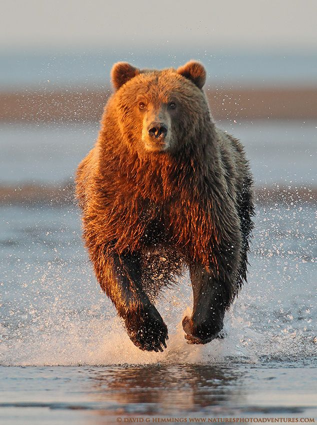 Alaska Brown Bear 2 by Nature's Photo Adventures - David G Hemmings