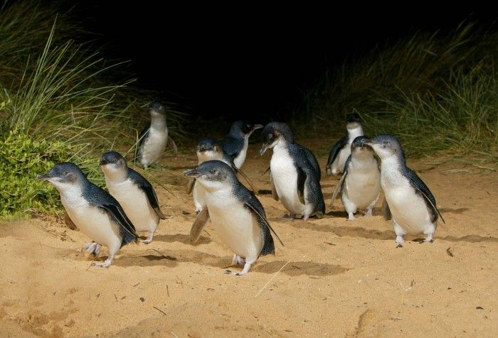 Penguin Parade | Phillip Island - Did you know these little guys can only be found in Australia and New Zealand? So worth paying extra to visit the Penguin Plus area and see hundreds of these cuties up close!