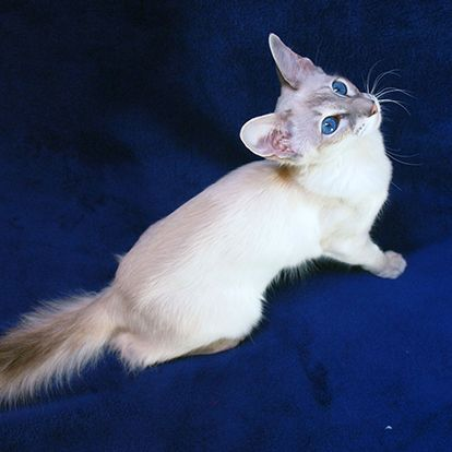 Colorpoint Shorthair Cat - http://catbreedsinformation.com/colorpoint-shorthair-cat/ For people that are looking for a small sized, medium coated cat breed, this is the cat for them. The Colorpoint Shorthair Cat is a popular cat breed originally from United States.This cat breed has won over the hearts of their owners with ease. This is because they are very affectionate, intelligent, and playful.Owners can expect to spend many years with their Colorpoint Shorthair Cat. They