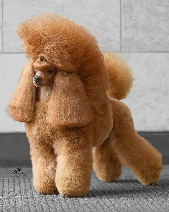 apricot miniature poodle dog grooming looks styles pinterest poodles miniature and sweet. Black Bedroom Furniture Sets. Home Design Ideas