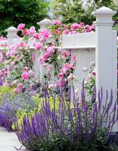 Picket fences and sidewalk borders are ideal locations for varying the color arrangement of old roses and purple sage (Salvia officinalis).