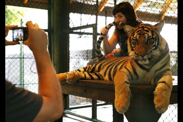 Conozca el zoologico de tigres en Tailandia. Visite nuestra página y sea parte de nuestra conversación: http://www.namnewsnetwork.org/v3/spanish/index.php  #nnn #bernama #zoo #tailandia #malasia #malaysia #thailand #tigers #selfie #pics #noticias #phuket