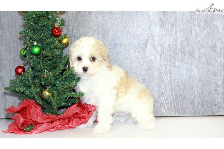 Cavapoo puppy for sale near Columbus, Ohio | b471c7c9-fb91